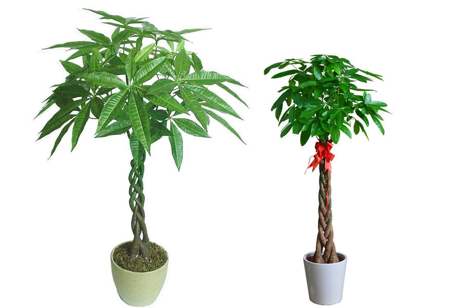 北京搬家公司如何搬运绿叶植物如大型发财树